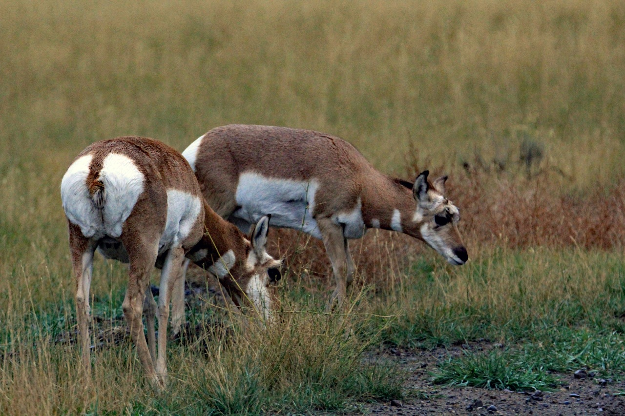 Feeding pronghorn