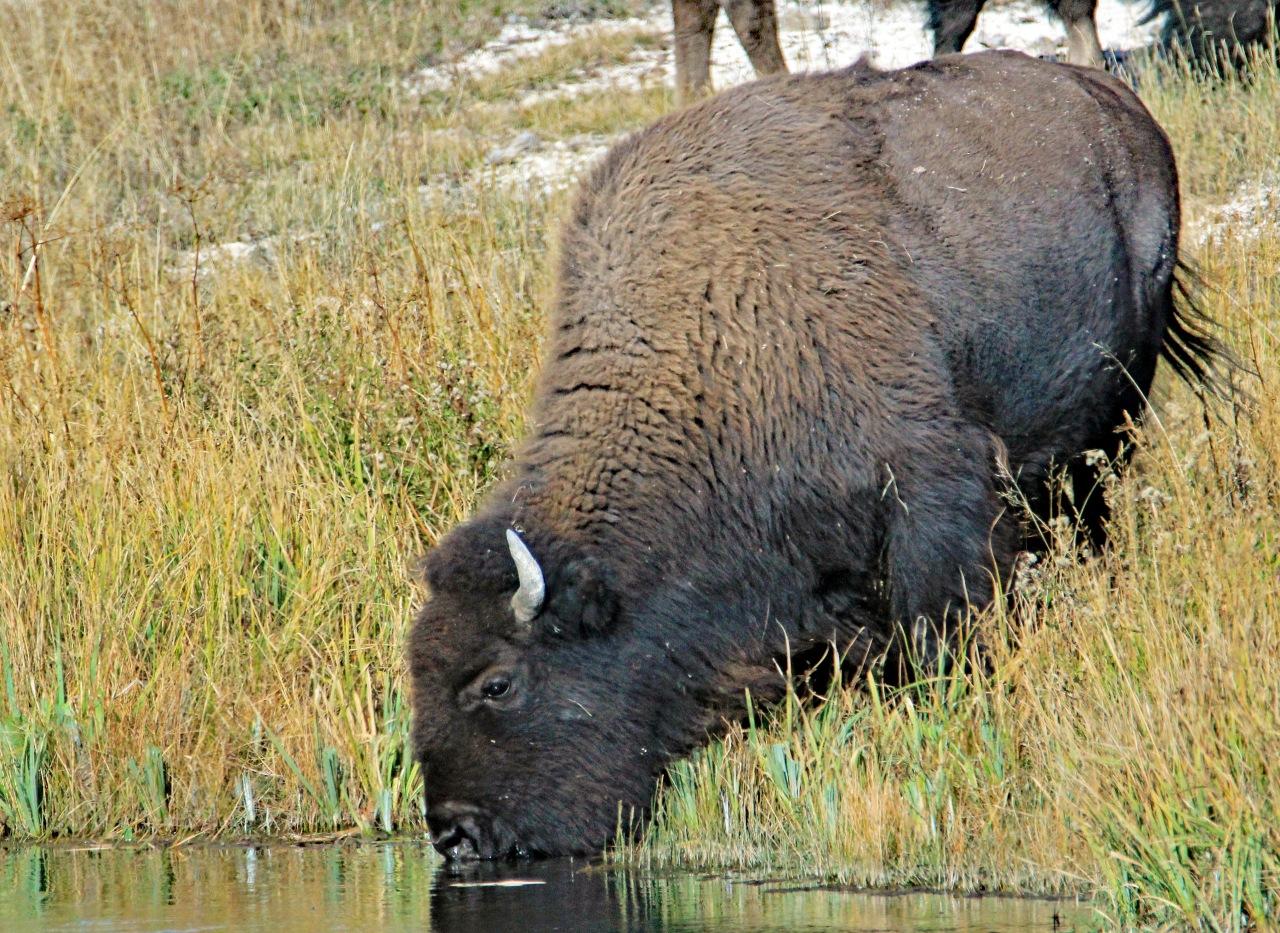 bison drinking
