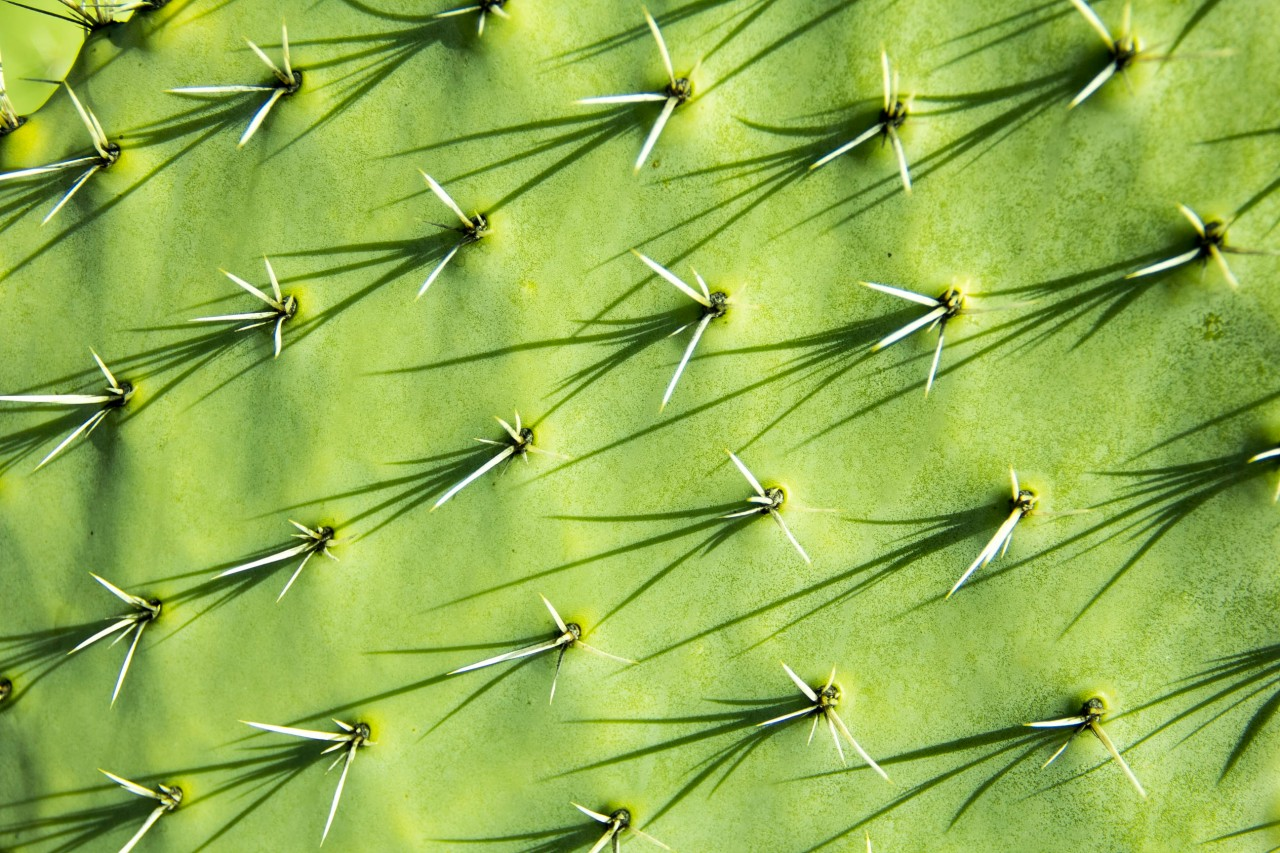 cactus flat