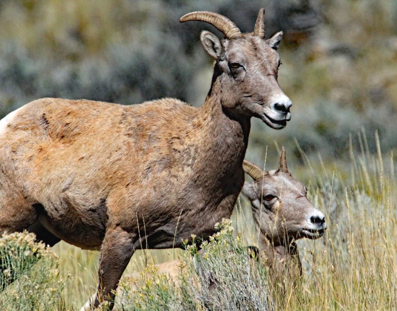 Big Horn Sheep 2