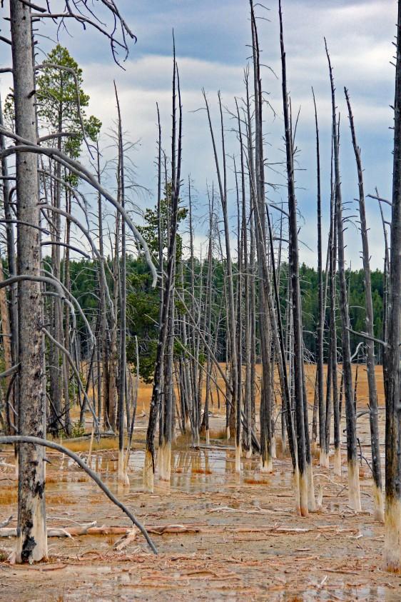Dead trees Cistern Spring Norris geyser basin2