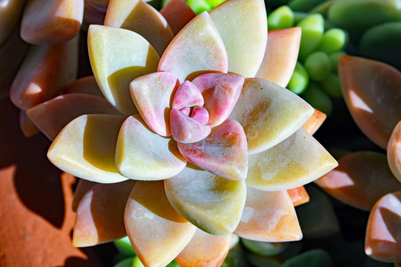 Succulent 3